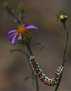 3-caterpillar