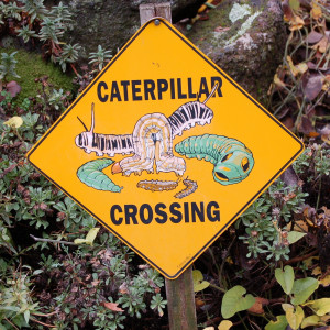 caterpillar_crossing