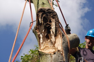 trunk failure of coast live oak